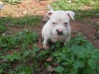 I have 4 males American bully puppies they are 6 weeks