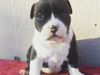 Have American bully puppies born 10/4/15 and will be