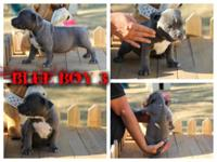 PR UKC puppy's born 8/22. COXTRONGZ' DAMIEN X SBK'S
