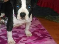 Beautiful female American bully young puppy for sale.