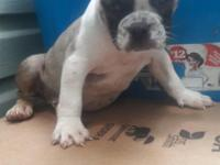 Male and a female American Bully pups they're ready for