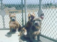 Female American Bully pups aval, pocket size Tri
