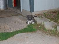 We have two male american bully puppies for sale. They
