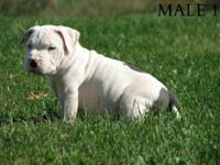 ukc purple ribbon reproduced puppies/UKC present on