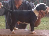 4 boy bully pups for sale 8 wks old if interested plz