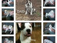 8 Beautiful American Bully/Razors Edge pit bull puppies