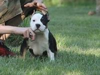 ABKC registered American Bully pups for sale. theses
