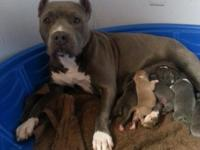 American bullys for sale will be ready the first week