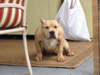 I'm rehoming my female American bully, she papers for