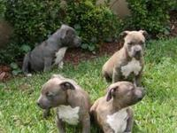 I have 4 male pups 1 blue 3 brindle. All pups have