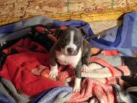I have 6week old Very nice american bullys for sale