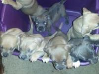6 American Bully pups 8 weeks if age ready now will