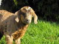 We are selling our American Cashmere goats. You don't