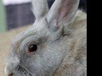 American - Cher - Medium - Adult - Female - Rabbit