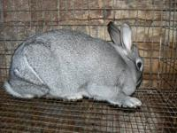 Rabbits available for meat or fur production. Feed your