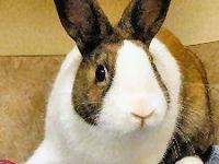 American - Cinnamin - Small - Young - Male - Rabbit