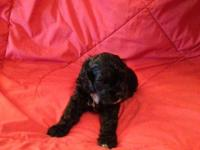 AKC registered American Cocker Spaniel Puppy for