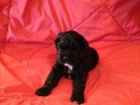 For sale American cocker spaniel puppy    1