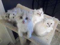 American Curl kittens, 2 kittens are still available!!!