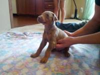 Pups were born June 27th. We currently have 1 red male,
