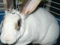 American - Eddy - Large - Adult - Male - Rabbit Eddy is