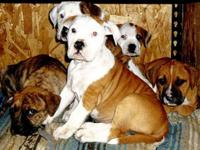 Mother is purebred(Scott kind) American Bulldog, Dad is