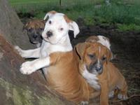 Mother is purebred(Scott type) American Bulldog, Daddy