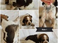 English Coonhounds available to be reserved. They were