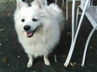 American Eskimo Dog - Carmine - Small - Adult - Male -