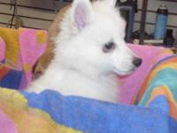 American Eskimo Dog - Elf - Medium - Baby - Female -