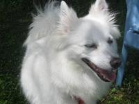 American Eskimo Dog - Moisha - Small - Adult - Female -
