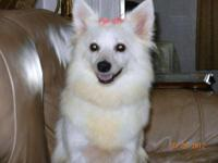 American Eskimo Dog - Snowy - Small - Adult - Female -