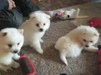 We have 4 beautiful pure breed American Eskimo