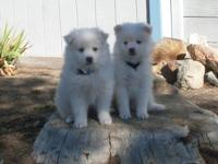 AMERICAN ESKIMO PUPPIES 2 VERY ADDORABLE MALE PUPPIES
