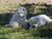 I HAVE 2 MALE AMERICAN ESKIMO PUPPIES 8 WEEKS OLD BORN