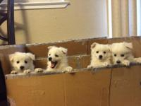 I got 4 pure breed American eskimo young puppies for