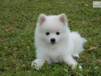 Animal Type: Dogs Breed: American Eskimo lovable,
