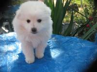 Purebred American Eskimo pup. Male. 8 weeks old, first