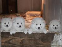Registered American Eskimo Puppies, great family dogs