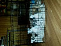 American extreme bully pups for sale big and bulky big
