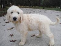 Goldendoodles, F1, American Golden Retriever and poodle