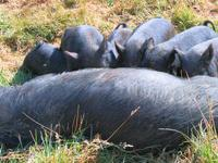 These little black piglets will mature at about 250