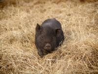 Rare breed American Guinea Hog piglets for sale in East