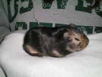 We have meny American Guinea Pigs for sale. We have