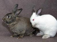 American - Joey - Extra Large - Baby - Male - Rabbit