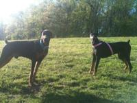 Please note dobermans require a special loving owner