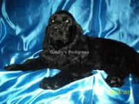"AKC (""American Kennel Club"") Cocker Spaniel black"