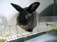 American - Lil Bit - Medium - Young - Male - Rabbit