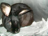 American - Medium - Adult - Male - Rabbit