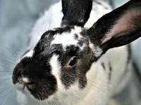 American - Mister - Large - Adult - Male - Rabbit Could